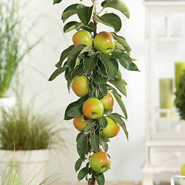 5ft 'Apple 'Bountiful' Cordon Dessert Apple Tree | M26 Semi Dwarfing Rootstock | 8L Pot