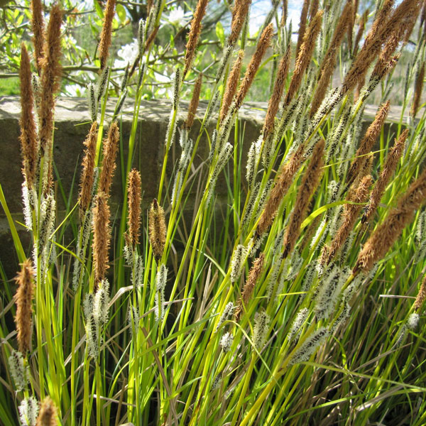 1L Bowles' Golden Sedge Carex 'Acuta'