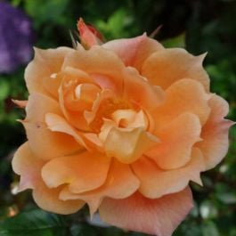 Bridge Of Sighs' Climber Rose - 5.5L Pot