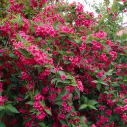 2ft Weigela 'Bristol Ruby' | Bare Root