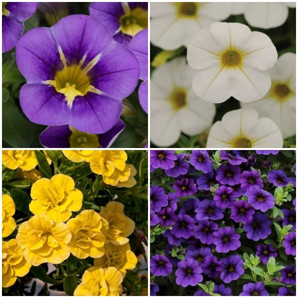 60 x Jumbo Plugs | Colourful Calibrachoa Collection | Hand-Picked By Experts