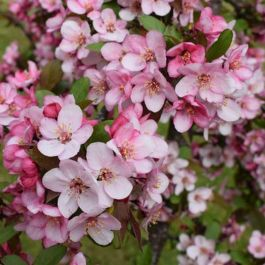 5ft 'Candymint' Crabapple Tree | Malus 'Candymint' | 12L Pot | By Frank P Matthews