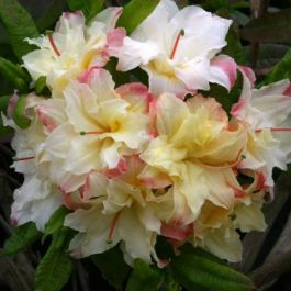 2ft Deciduous Azalea 'Cannons Double' | 5L Pot