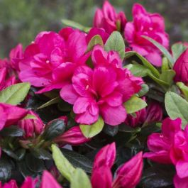 1ft Evergreen Azalea 'Canzonetta' |3L Pot | Azelea japonica