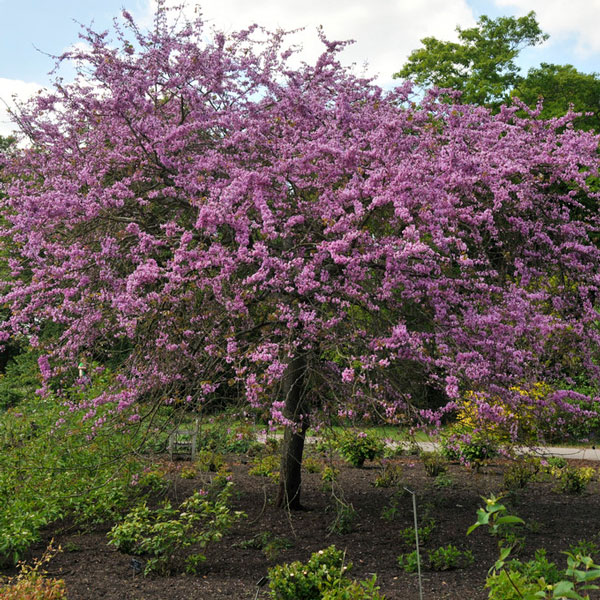 3ft Judas Tree | 3L Pot | 'Cercis siliquastrum'