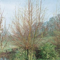 5ft Scarlet Willow | 9L Pot | Salix alba 'Britzenis'