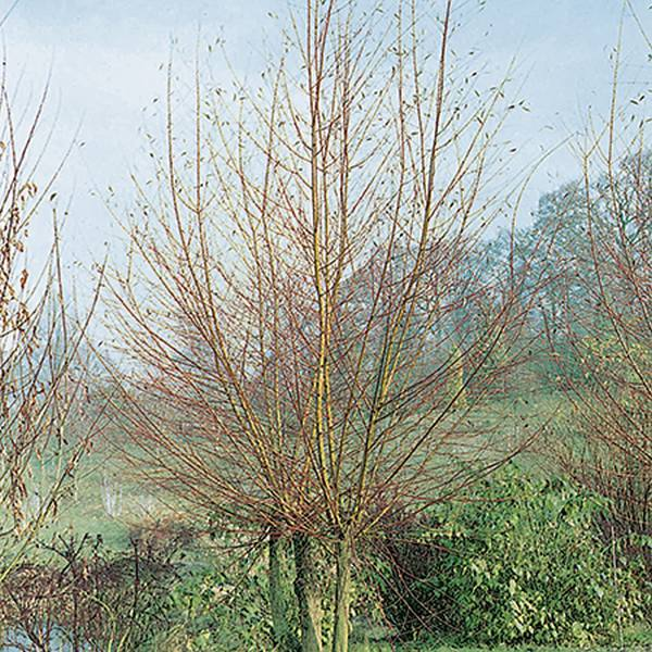 4ft Scarlet Willow |Bare Root | 'Salix alba Chermesina'