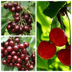 Sweet & Sour Cherry Tree Collection | 5ft Sunburst, Stella & Morello Cherry Trees | Colt Semi Vigorous Rootstock
