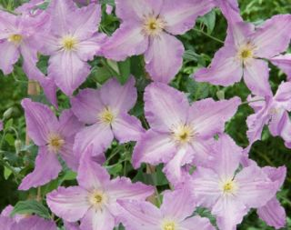 Clematis Blue Angel (S)