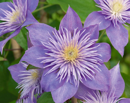 Clematis 'Crystal Fountain' - 2.5L Pot