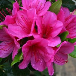 1ft Evergreen Azalea 'Corany' |3L Pot | Azelea japonica