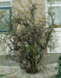 3ft Corkscrew Hazel Tree | 9L Pot | Corylus avellana 'Contorta'