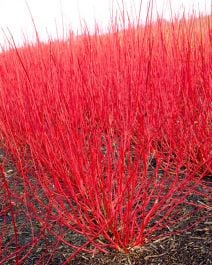 2ft Red Stemmed Dogwood | Bare Root | Cornus Alba