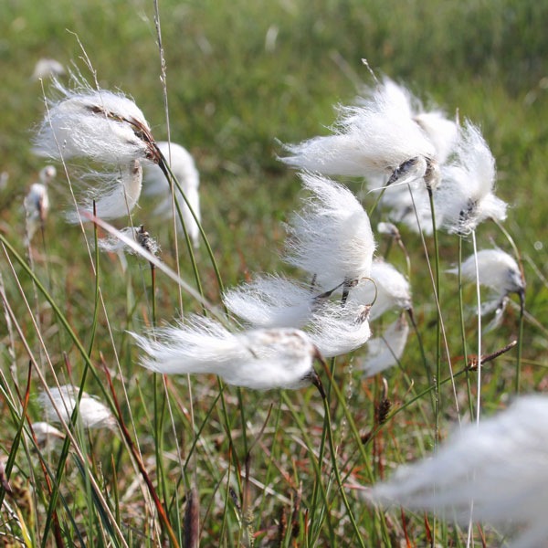 1L Common Cotton Grass Eriophorum angustifolium