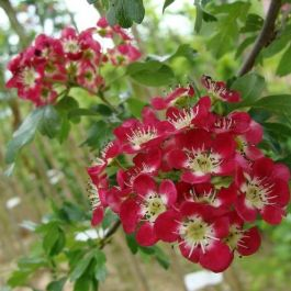 5ft Crimson Cloud Hawthorn Tree | 9L Pot | Crataegus laevigata