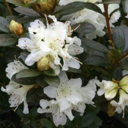 1ft Dwarf Rhododendron 'Cream Crest' | 3L Pot