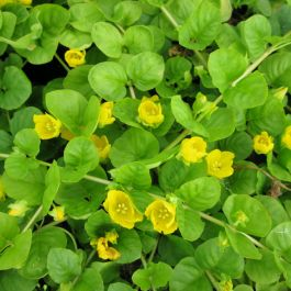 Large Creeping Jenny Lysimachia nummularia - 3L Pot