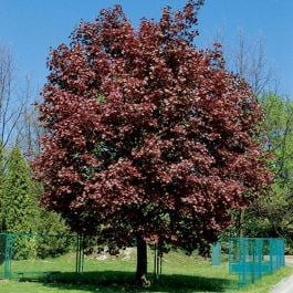 6ft Crimson King Norwegian Acer | 12L Pot |Norwegian Acer / Acer Platanoides | By Frank P Matthews™
