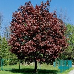 5ft Crimson King Maple Tree | 9L Pot |Norwegian Acer / Acer Platanoides