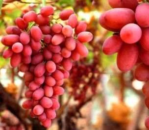 3ft 'Crimson Seedless' Grape Vine | 2L Pot | Seedless | Outdoor