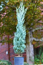 Pair of 6ft Blue Arizona Cypress Topiary Obelisk | 15L Pot | Cupressus arizonica 'Fastigiata'