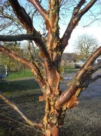5ft 'Dark-Ness' Himalayan Birch Tree | 12L Pot | Betula uti 'Dark-Ness' | By Frank P Matthews™