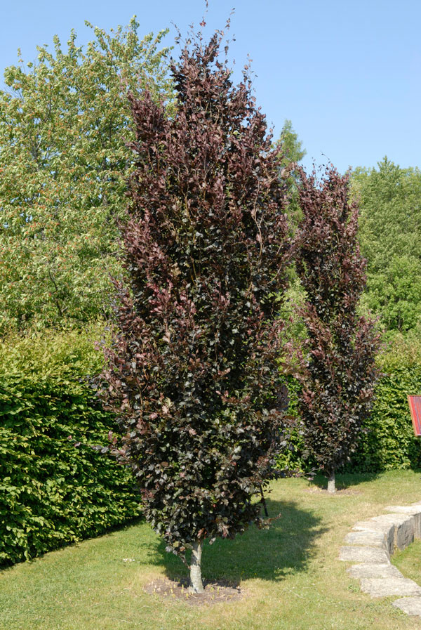 5ft Purple Upright Beech Tree | 12L Pot | Fagus Sylvatica 'Dawyck Purple' | By Frank P Matthews™