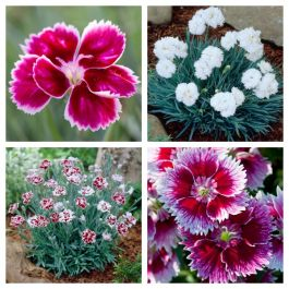 8 x Dianthus Alpine Plants | Fun and Fragrant Collection | 1L Pots