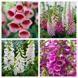 8 x Digitalis Plants | Pretty Foxglove Collection | 1L Pots