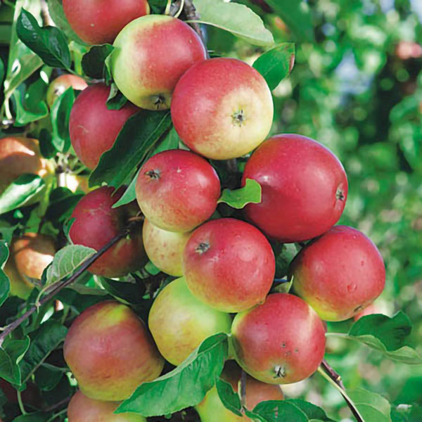 Discovery' Dessert Apple Tree MM106 - 9L Pot