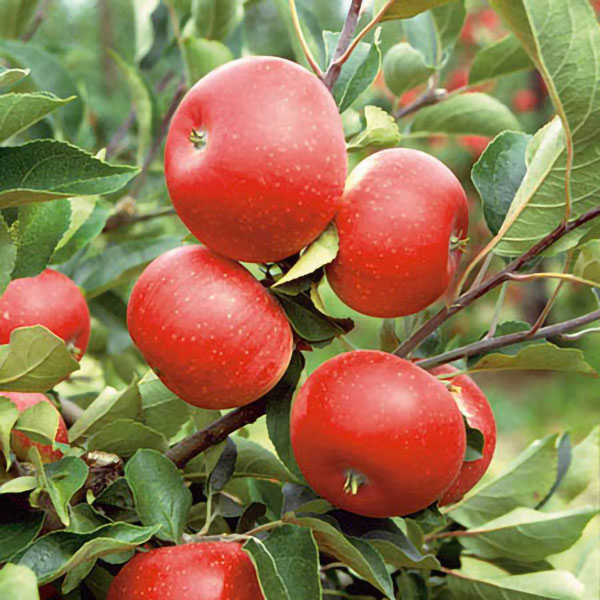 Discovery' Dessert Apple Tree - 9L Pot