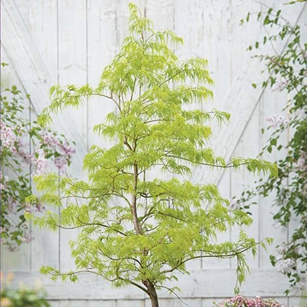 2ft Dissectum Acer Tree | 5L Pot | Acer Palmatum