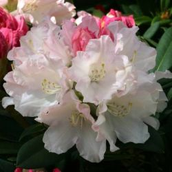 1ft Rhododendron 'Dreamland' | 3L Pot | Rhododendron Yakushimanum