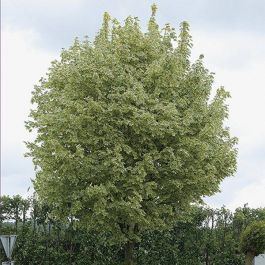 5ft Drummondii Variagated Maple Tree | Bare Root | Acer Platanoides / Norwegian Acer