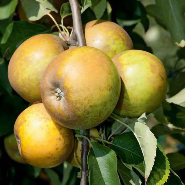 Egremont Russet' Dessert Apple Tree - 9L Pot