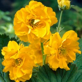 35cm Geum 'Lady Stratheden' | 3L Pot