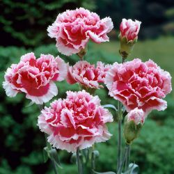 Dianthus Scented 'Sugar Plum' | 2L Pot