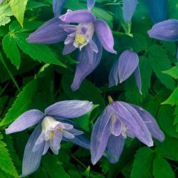 Clematis Alpina 'Blue Dancer' | 2.5L Pot