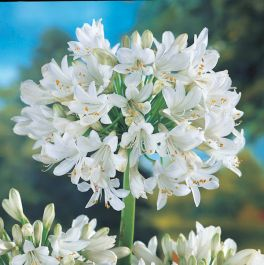 Agapanthus 'Snow Cloud' | 3L Pot