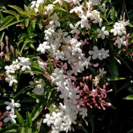 Jasmine Officinale 'Affine' | 2.5L Pot