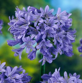 Agapanthus 'Pretty Heidi' | 3L Pot