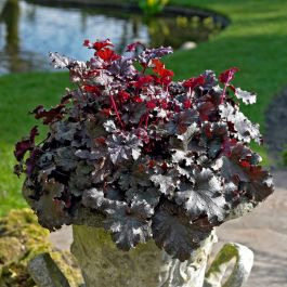 30cm Heuchera 'Plum Pudding' | 3L Pot