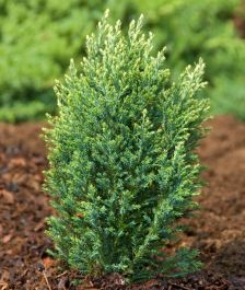 Chamaecyparis lawsoniana Snow White | 1L