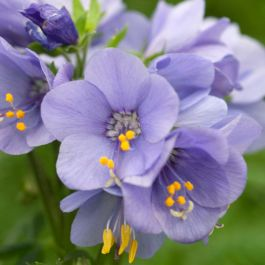 Polemonium 'Bressingham Purple' | 2L Pot