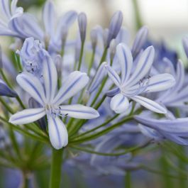 Agapanthus 'Sweet Surprise' | 3L Pot