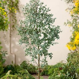 5ft Eucalyptus Tree | 9L Pot | Eucalyptus gunnii