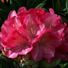 1ft Rhododendron 'Fantastica'| 3L Pot | Rhododendron Yakushimanum