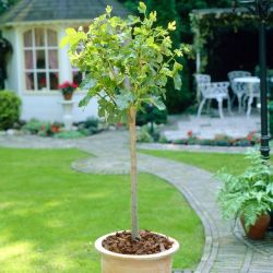4ft 'Brown Turkey' Fig Tree | Half Standard | 4L Pot