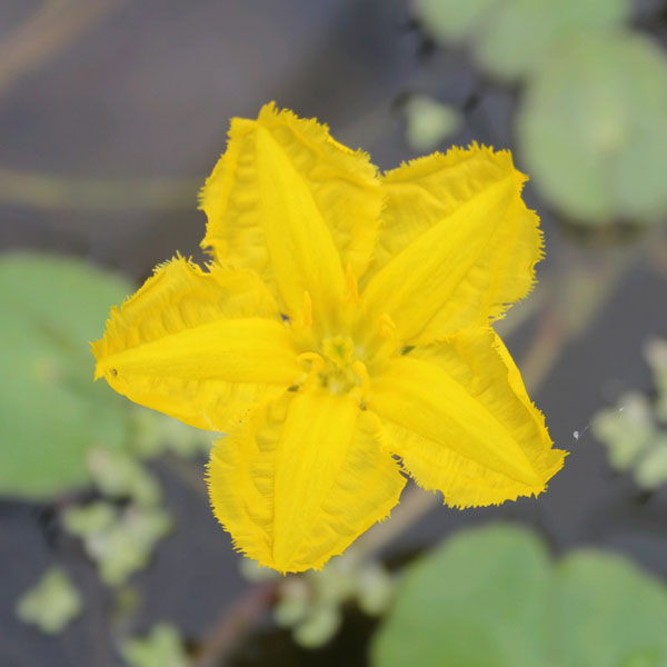 1L Yellow Floating Heart Nymphoides Peltata