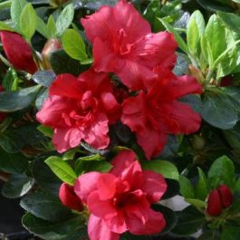 1ft Evergreen Azalea 'Florida' |3L Pot | Azelea japonica